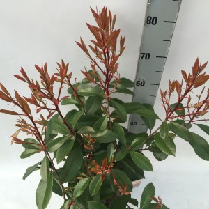 Photinia 'Red Robin' sense P23 b