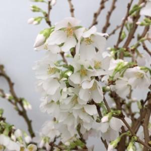 Prunus 'Koyo-no-mai' sense detail